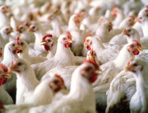 Carni avicole, firmato accordo per aumentare l'export dall'Ucraina in Ue