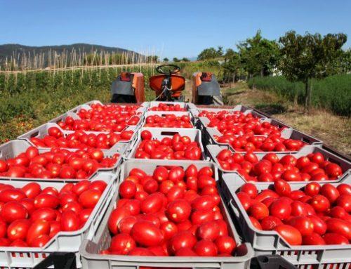 Pomodoro da industria: campagna record a +7,6%