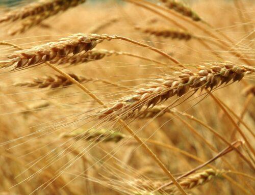 Intesa Sanpaolo investe 20 milioni di euro nel grano di Molino Casillo