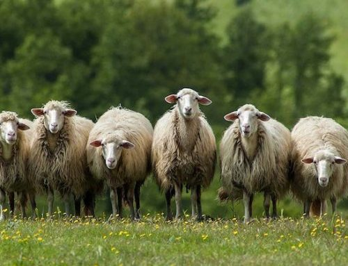 La Nuova Zelanda diversifica la produzione lattiera e investe sugli ovini