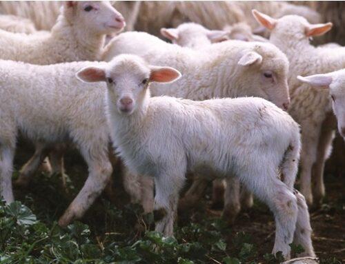 Consorzio agnello di Sardegna Igp: lotta alle fake news che danneggiano il comparto
