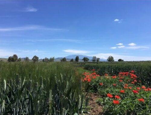 Grano: dal progetto 'Biodurum' i sistemi innovati a sostegno della cerealicoltura bio