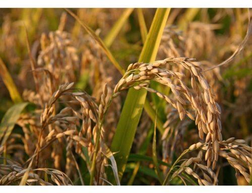 Lolla di riso: da scarto a materiale green per la costruzione di componenti automobilistiche