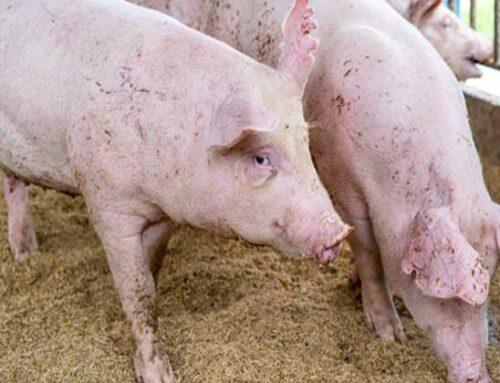 In crescita del 10,4% la produzione di carne suina in Russia