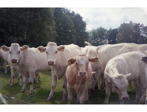 Allevamenti bovini e suini: Istat conferma calo delle macellazioni e contrazione dei prezzi