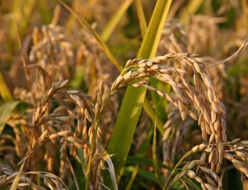 Riso Gallo rende la filiera più sostenibile. E punta a realizzare il progetto 'casa di riso'