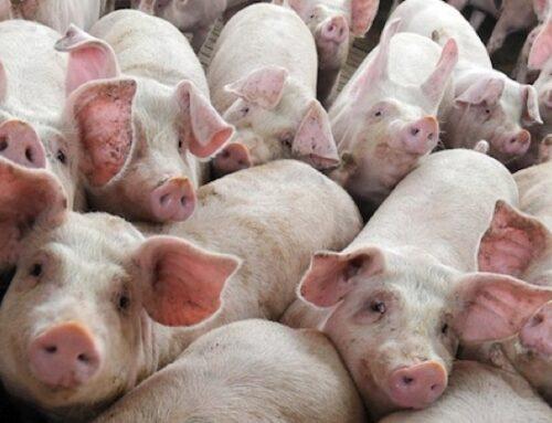 La Cina raddoppia l'import di carne suina nel 2020