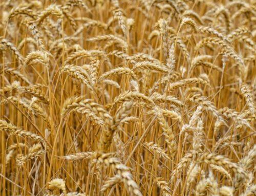 'Grano Armando': nuovo contratto di filiera per il settore cerealicolo. Stanziati 27 milioni di euro