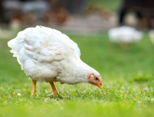Burger King sottoscrive l'European Chicken Commitment in Uk a sostegno del benessere animale