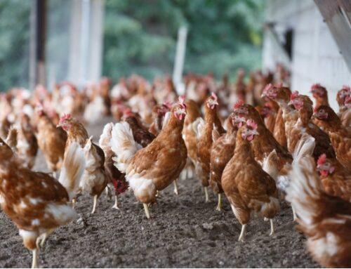 Rialzo prezzi materie prime in avicoltura: il Cfa francese denuncia l'indifferenza di Carrefour, Casino e Aldi