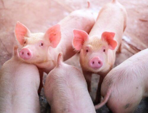 Peste suina africana: per Rabobank influenzerà il commercio mondiale delle carni anche nel 2021