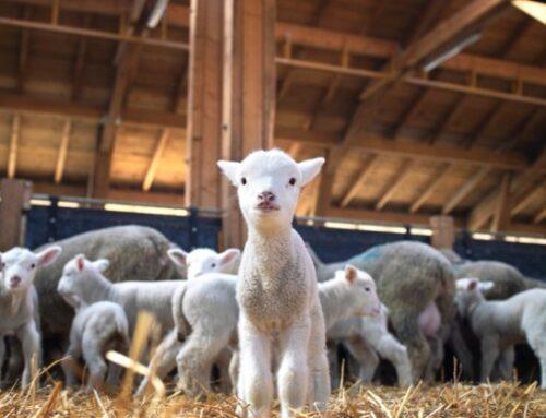 Agnello di Sardegna Igp: dallo Stato aiuti per 2 milioni di euro ai pastori