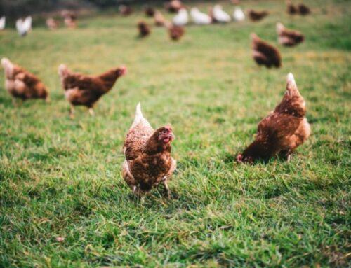 Confagricoltura: Simone Menesello eletto presidente della Federazione nazionale di prodotto allevamenti avicoli