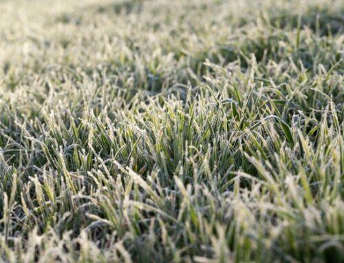 """Il gelo colpisce campi e vigne. L'allarme di Confagricoltura Toscana: """"La regione dichiari stato calamità"""""""