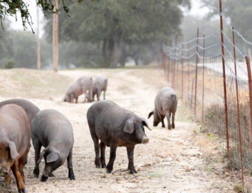 Mangimi per polli e suini: l'Ue verso la reintroduzione di proteine animali