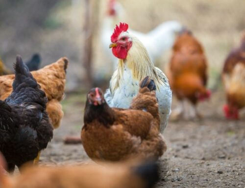 Stop allevamenti in gabbia: l'Emilia Romagna, prima in Italia, approva gli aiuti alle aziende