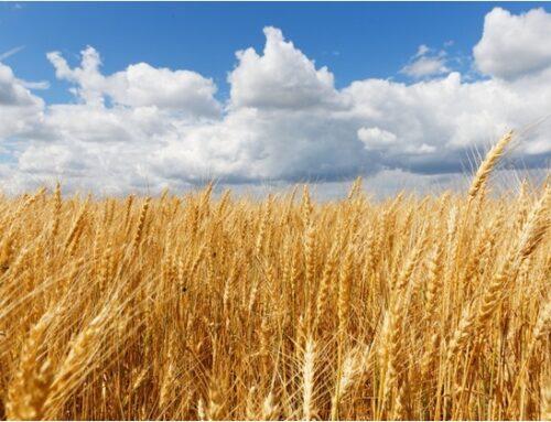 Tutela della filiera grano duro (2): che fine ha fatto il progetto della Cun?