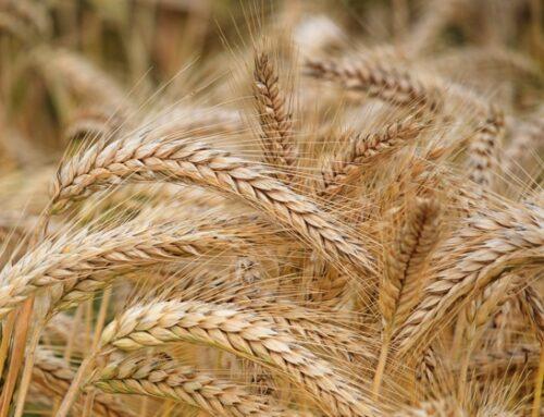 Le quotazioni di frumento duro nazionale raggiungono il massimo storico (540 euro/tons). Il commento di Italmopa