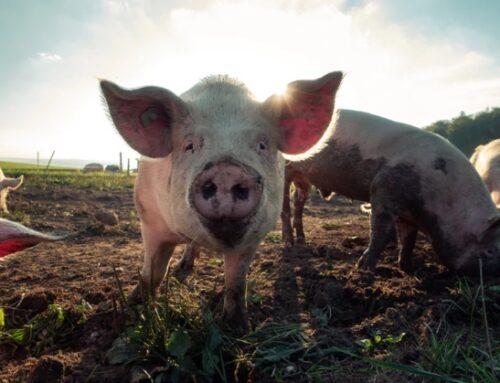 Suini bio: in Spagna aumenta la produzione (+17%)
