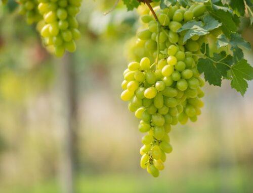 """Uva da tavola venduta sottocosto. L'allarme di Cia – Agricoltori italiani: """"Gravi responsabilità della Gdo"""""""
